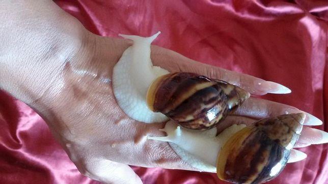 Улитки сухопутные Ахатина Белый нефрит 10 гр за улитку Запорожье - изображение 1