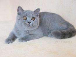 Предлагается к продаже чистокровный британский котик д.р 1.04.2018