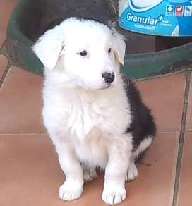 Bodde Collies for sale