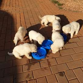 White German sherpard puppies for sale