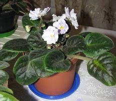 цветок Фиалки (Сенполия)