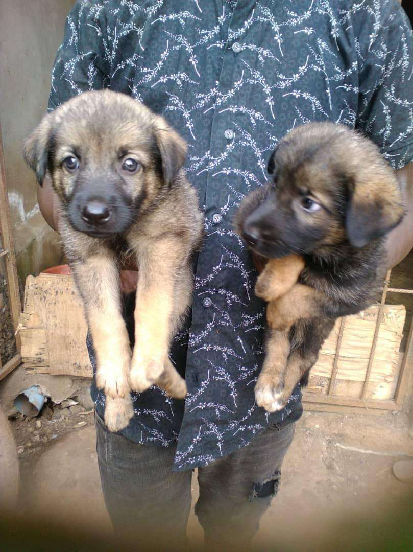 GSD+Caucasian puppies for sale. 6weeks old 0