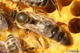БджолоМАТКИ (пчеломатки) карніка тройзек 1075 і пешец.