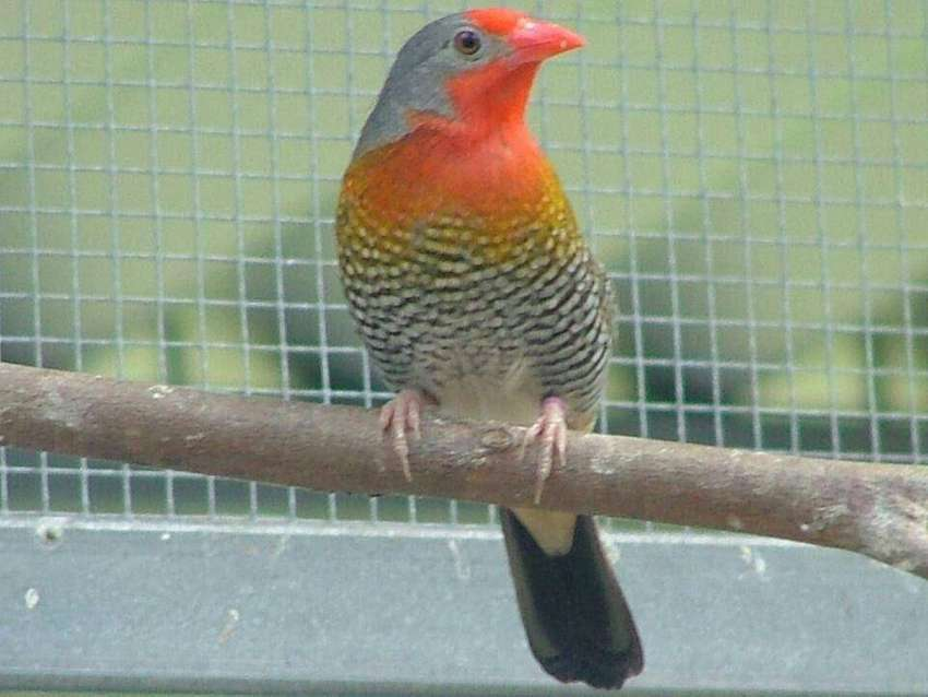 Finches for sale 0