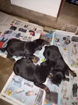 Doberman large breed puppies for sale