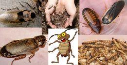 зофобас аргентинский мучной червь Мраморный таракан насекомые