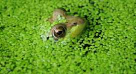 Looking for duckweed
