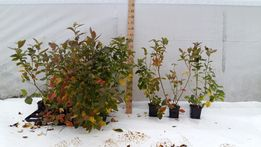 Sadzonki borówki Bluecrop, Borówka amerykańska , Wysoka, CAC