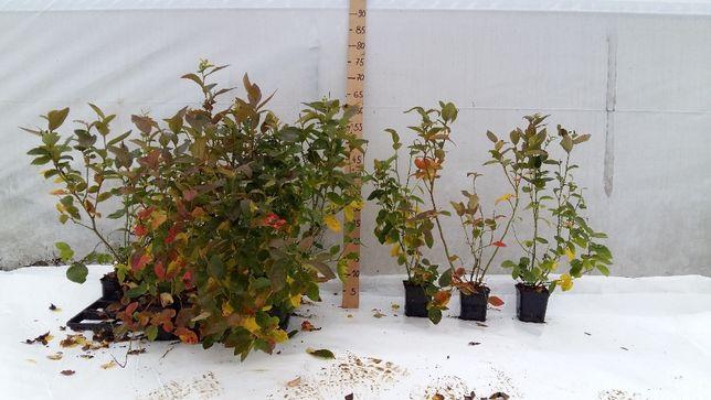Sadzonki borówki Bluecrop, Borówka amerykańska , Wysoka, CAC Rybnik - image 1