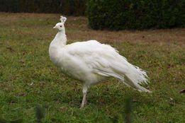 Домашний питомник продает белых павлинов!!!