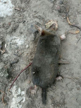 Уничтожение тараканов,постельных клопов,клещей,кротов,крыс,мышей т.д. Киев - изображение 7