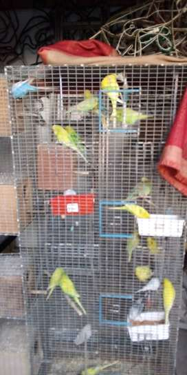 Show Budgies x 11 plus aviary Complete set up