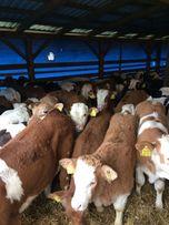 Byczki mięsne duży wybór