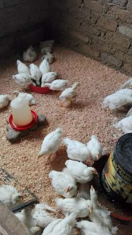 Chicken manure and sawdust available for sale