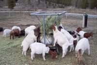 Image of sheep and goats for sale