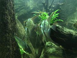 Pterophyllum altum