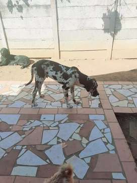 Selling a beautiful dog and his  in excellent health