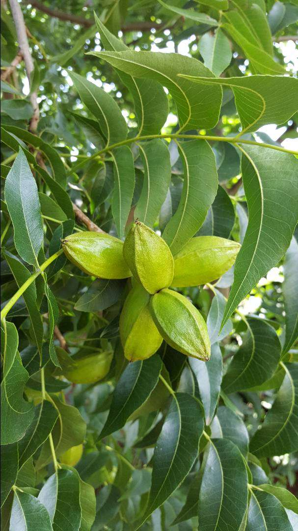 Pecan nut trees for sale 0