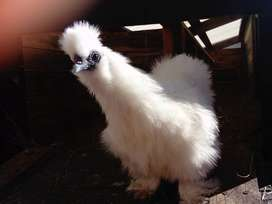 silkie rooster trade for chicken feed or rooster hen pair