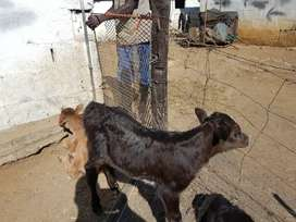 Young bull calves for sale