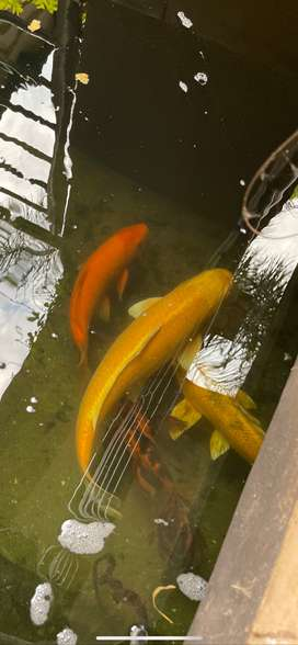 KOI FISHES FOR SALE