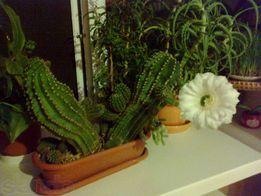 Продам деток кактуса или поменяю на фиалки