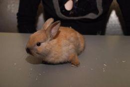 Карликовый декоративный кролик мини, мини крольчата