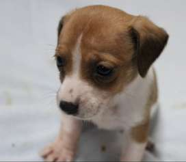 Most Adorable Jack Russell puppies