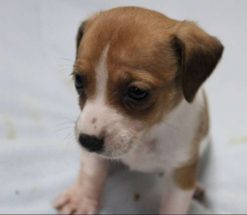 Most Adorable Jack Russell puppies 0
