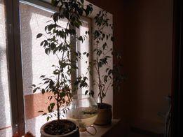 Фикус Бенджамина высота 140 см. цветы комнатные