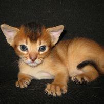 Абиссинские котята - питомник AbyMax.