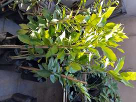 Grafted Fruit Trees