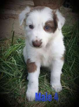 RARE BROWN-AND-WHITE BORDER COLLIE PUPPIES