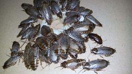 таракан мраморный (корма для животных)