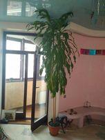 Высокая тропическая пальма 3м+ для интерьера, декора
