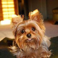 Предлагаю свои услуги: передержка собак мелких пород