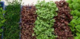Семена на микрозелень (микрогрин )
