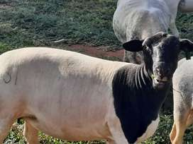 Beautiful dorper ewes available