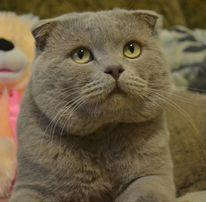 Вислоухий шотландский кот. Вязка.