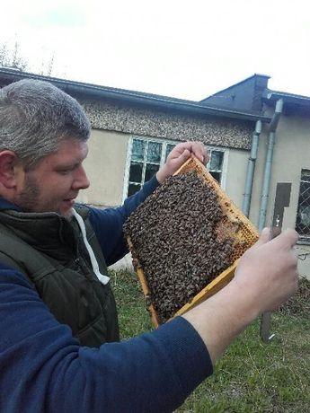 Matki pszczele 2018, Włoszka, Krainka, Buckfast, AMM, Elgon. Białystok - image 4