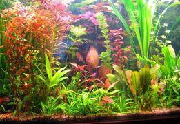 Аквариумные растения.Эхинодорус Уругвайский
