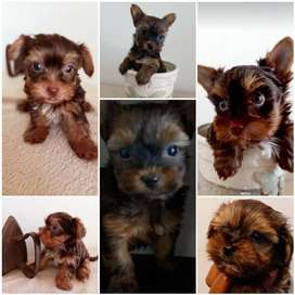 Yorkshire puppies cocolate and Sable