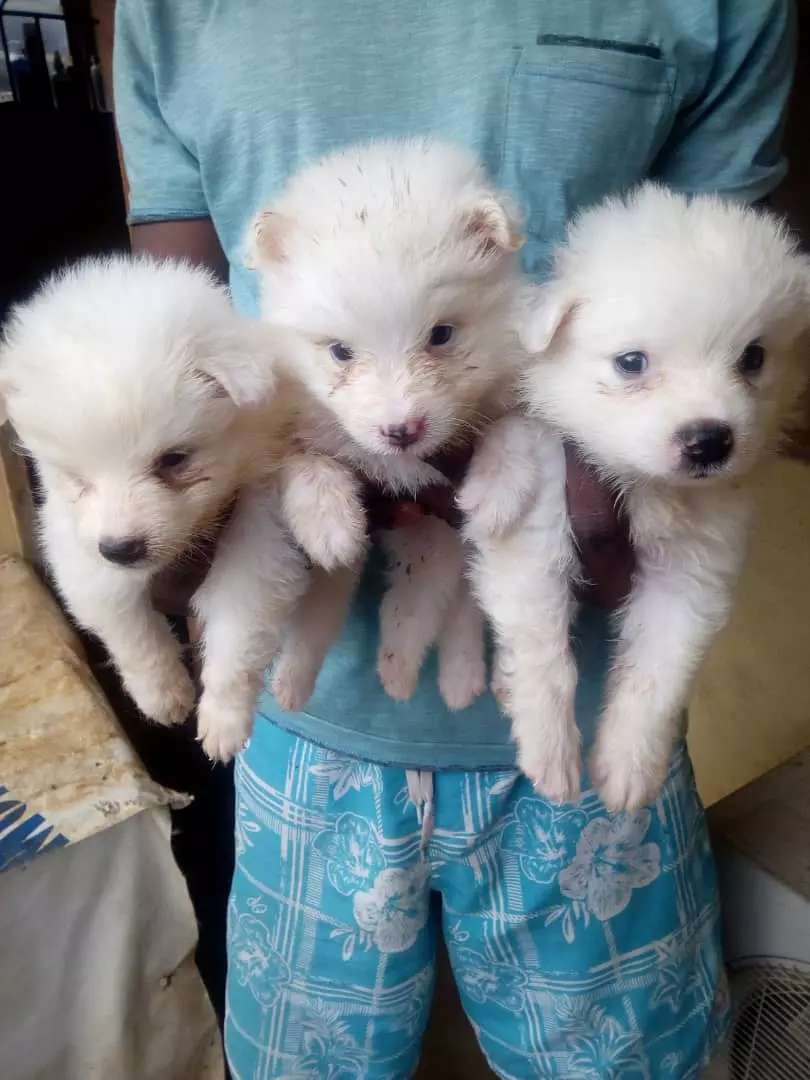 Samoyed puppies for sale 0