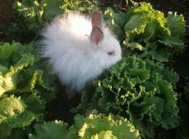 AdorableAngora Rabbits for sale. R250 each