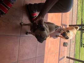 I'm selling two pugs they are both 8 months and males