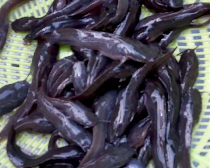 Catfish fingerlings and juveniles for sale 0