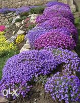 семена многолетних почвопокровников для альпийской горки