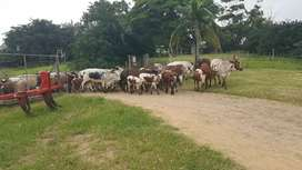 Cattle/Livestock Trailers for Dale