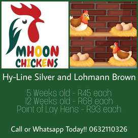 Hy-Line Silver and Hy-Line Brown Point of Lay Hens