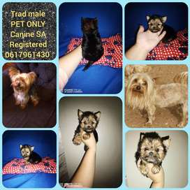 Stunning Traditional Yorkie male